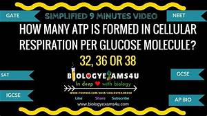 Atp In Cellular Respiration Per Glucose 32  36 Or 38