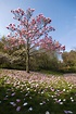 Magnolia Tree Types - Learn About Common Varieties Of ...