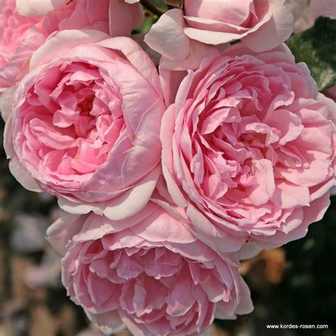 cinderella duftrosen gartenrosen kordes rosen