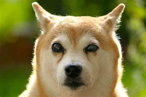 blindness in dogs sudden blindness in dogs sards or cushing s disease