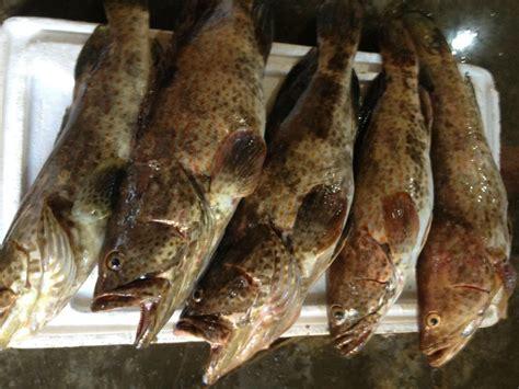 frozen grouper fish wholesale