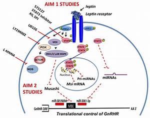 Leptin Signaling Pathways