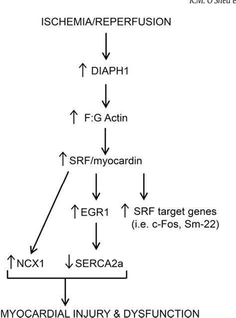 Figure 6 from The Formin, DIAPH1, is a Key Modulator of