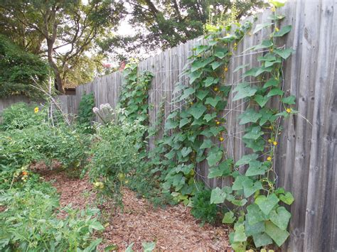 trellis for cucumbers diy cucumber trellis on privacy fence coffee to compost