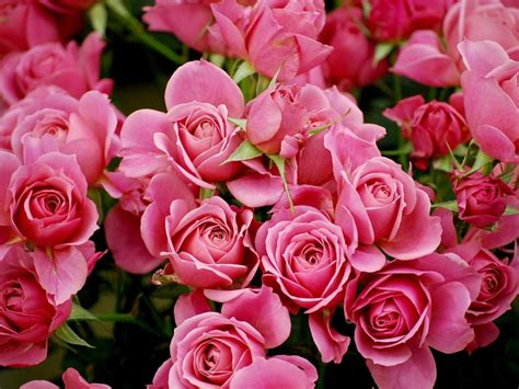 Pink Roses Background Pink Wallpapers Hd Pictures Flowers One Hd