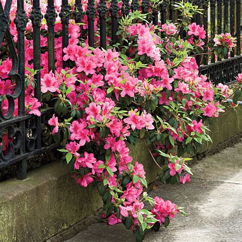 how do you care for bushes how do you care for azalea bushes typesofflower com