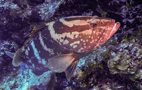 grouper nassau belize wcs brink endangered becomes critically save habitat newsroom conservation extinction vital activities fishery fight