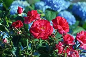 Kräuter Zusammen Pflanzen : hortensien und rosen passen sie gut zusammen ~ Whattoseeinmadrid.com Haus und Dekorationen