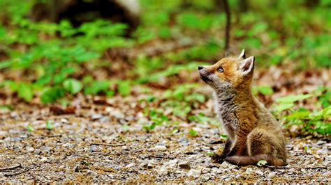 Nature, Animals, Baby Animals, Fox, Sitting, Field, Plants