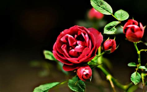 Rose Flower Wallpaper Hd Free Download Red Flowers Hd Nature Wallpaper With Rose Picture Hd