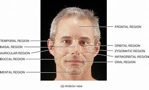 Surface Anatomy Of Face