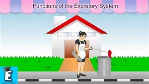 Functions Of The Excretory System Earn For Children And