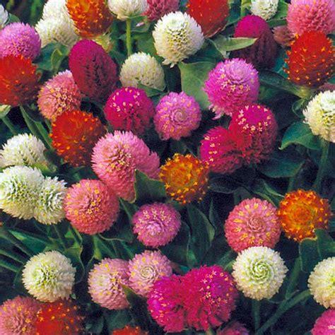 globe amaranth globe amaranth seeds planet natural
