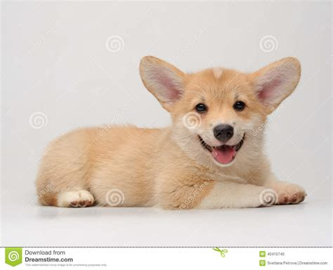 Cute Corgi Puppy Lying And Smiling Stock Photo - Image ...