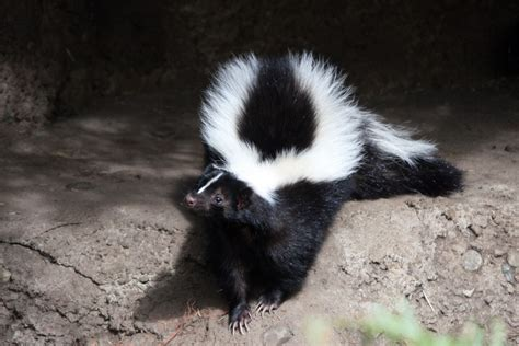 Common Problems Caused By Skunks Skunkcom