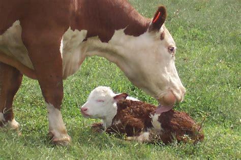 Tending To Calves The Critical First 24 Hours Farmtek Blog