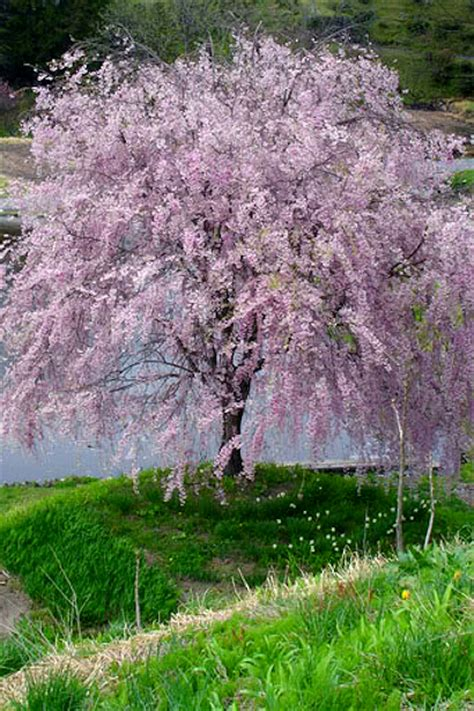 miniature flowering cherry tree the dr seuss tree part 1 my happy crazy life