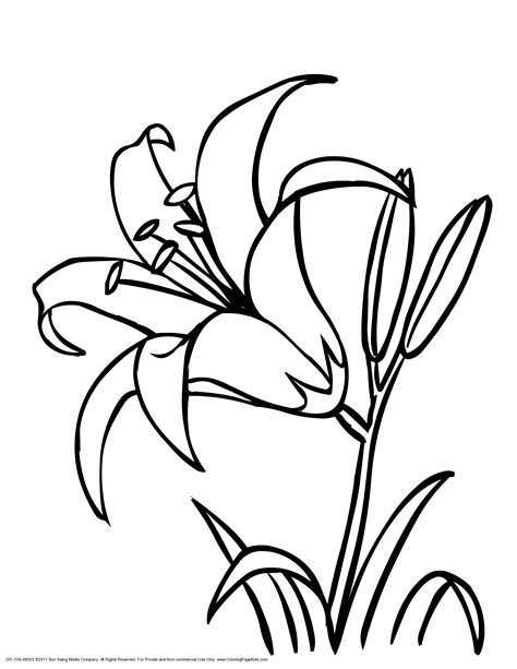 lily flowers colouring pages art  crafts flower