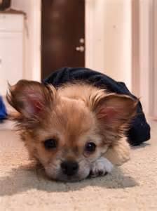 Pekingese Chihuahua Mix Dogs