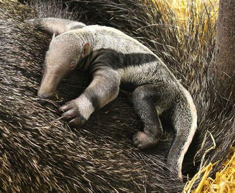 anteater giant zoo zooborns ugly born warsaw animals