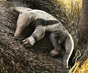 Meet Warsaw Zoo's Baby Giant Anteater! - ZooBorns