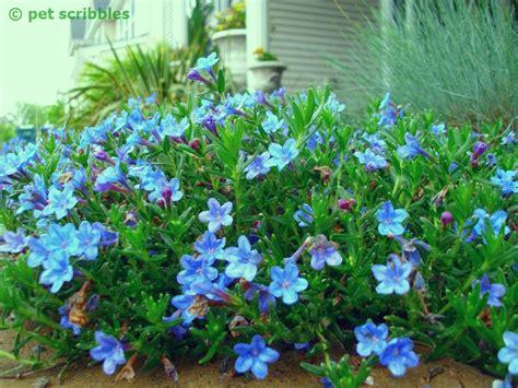 perennial plant care blue perennial flowers try lithodora an update pet scribbles