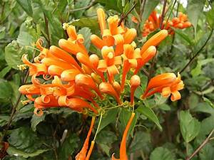 Flame Vine University of Florida Institute of Food and