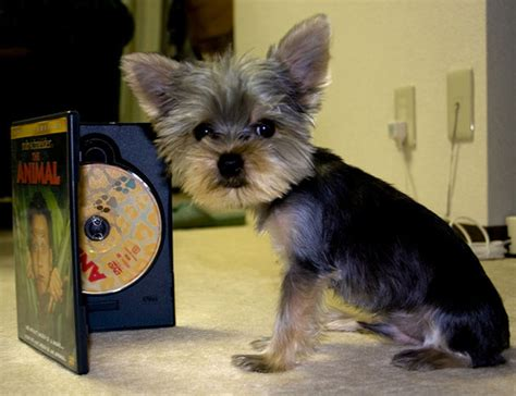 Estimate Your  Ee  Puppy Ee  S Weight And Size Yorkiep Ion Com