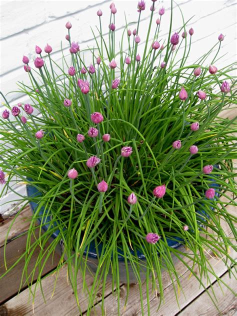 Kräuter Im Garten Pflanzen Zeitpunkt by 13 Kr 228 Uter Und Pflanzen Die Wir Zu Hause Im Topf Anbauen