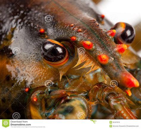 cuisiner le homard vivant macro de homard vivant image stock image du macro live