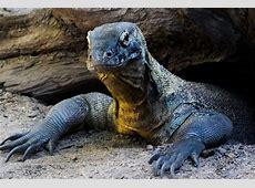 Dragão de Komodo conheça tudo sobre este