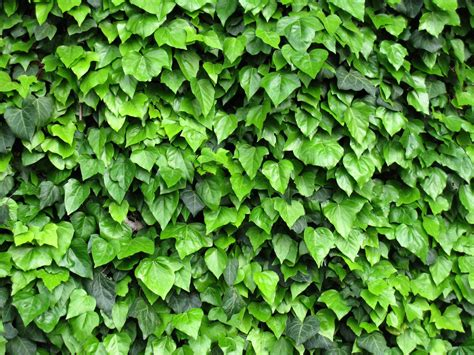 Free Ivy, Climbing Plant 1 Stock Photo Freeimagescom