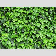 Free Ivy, Climbing Plant 1 Stock Photo Freeimagescom