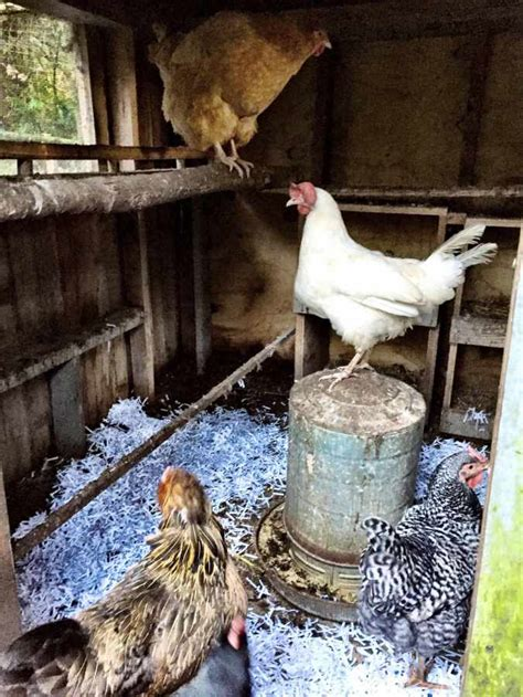 awesome chicken bedding options  hens    love