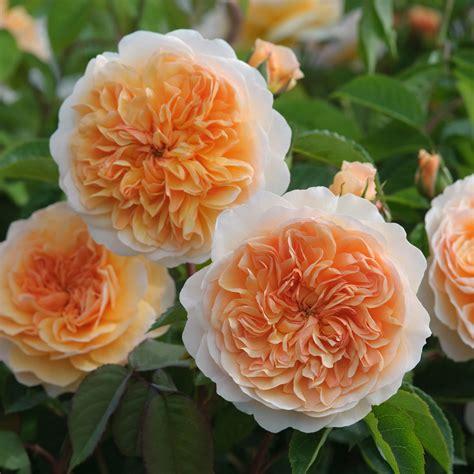 austen roses port sunlight david austin roses
