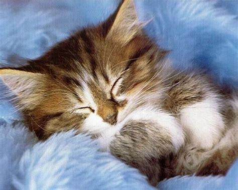Kitten Backgrounds by Kittens Wallpaper Kitten Wallpaper