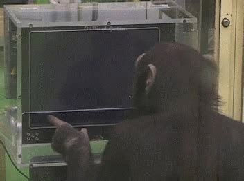 chimp gifs find share  giphy