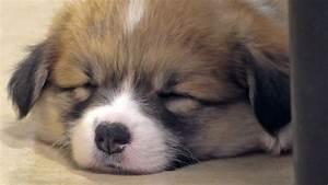 cute corgi puppies sleep / コーギー子犬 お昼寝 20150530 Part 5 ...