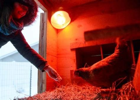 Too Cold For Chickens? Authorities Say Heat Lamps Aren't