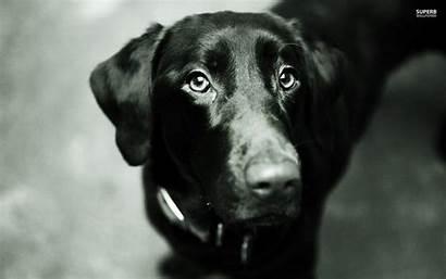 Labrador Lab Wallpapers Dogs Monochrome Screensaver Retriever