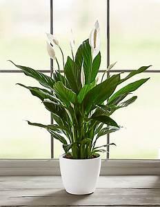 Peace Lily House Plant | M&S
