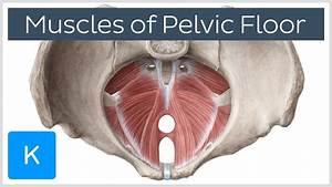 video muscles of the pelvic floor kenhub With pelvic floor muscles pain