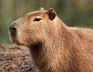 Species Profile: Capybara (Hydrochaeris hydrochaeris ...