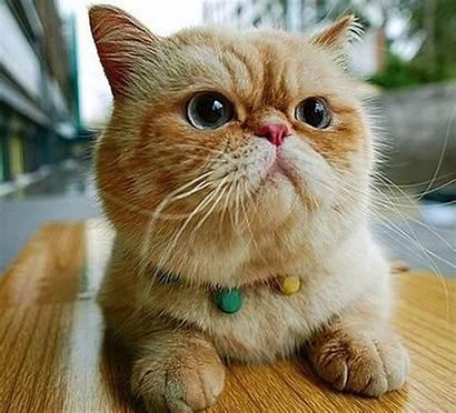 Exotic Cat Cats Shorthair Garfield Breed Gatos