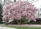 Pink Magnolia Trees – Crazy for Gardening