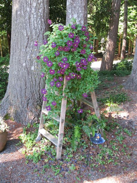 Clematis Trellis by Bought This Stepladder At A Resale Shop For 5 00