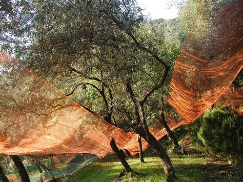 olive tree net collect picking olive tree harvest