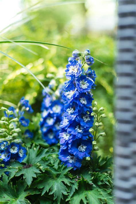 delphinium flower   day hgtv