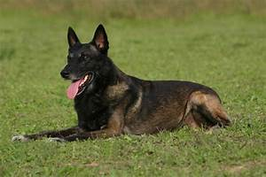 Belgian Malinois Dog Information | Pets World