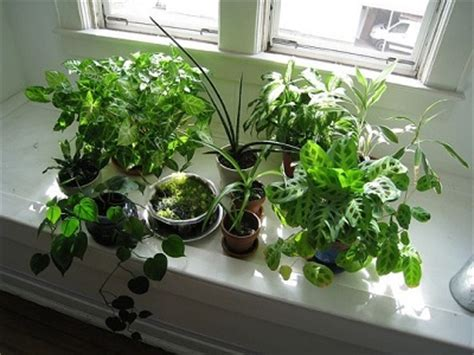 Flowering House Plants For Windows by Can Window Tinting Affect Your Indoor Plants Homerous